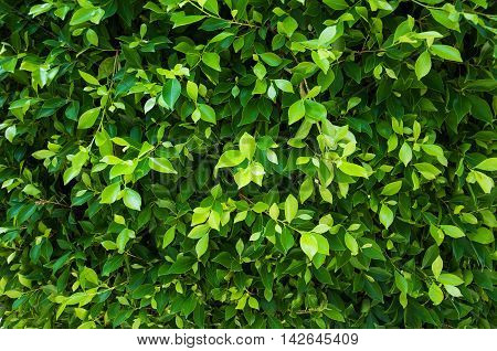 green leaves of ficus on the tree - natural background