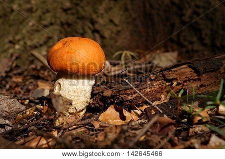 Aspen mushroom close up in the autumn wood.