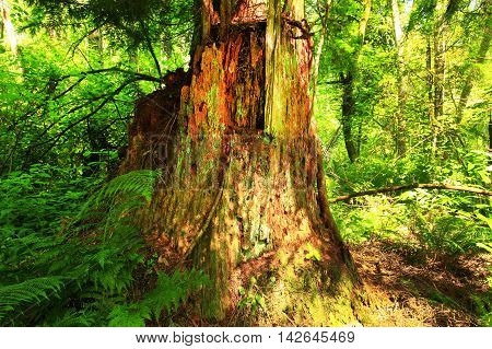 a picture of an exterior Pacific Northwest forest with a old growth Western red cedar tree stump