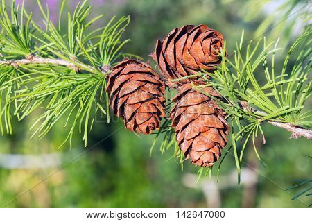 Pine cones with green needles on tree