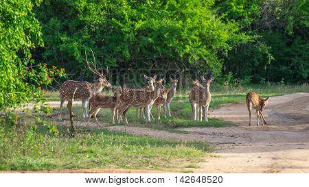 Herd of deer Ceylon. Safari in the Yala National Park.