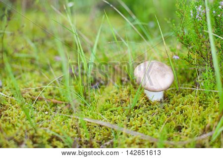 Single mushroom (Boletus edulis) growing in green moss on the forest floor