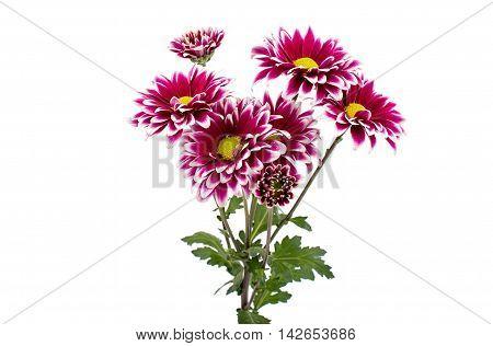 A  loveliness autumn chrysanthemum flower isolated white