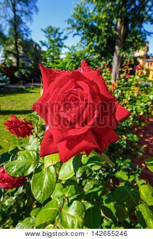 Beautiful Red Roses In The Garden, Close Up