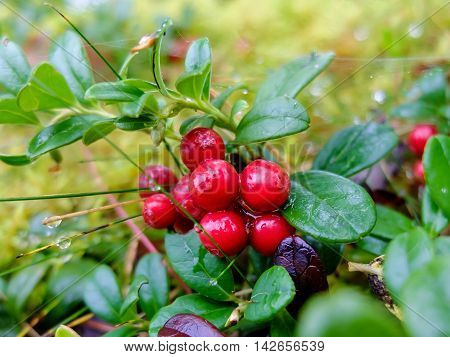 Cranberries growing in moss, fruit is rich in vitamins. Berries for making jam or sweet syrup.