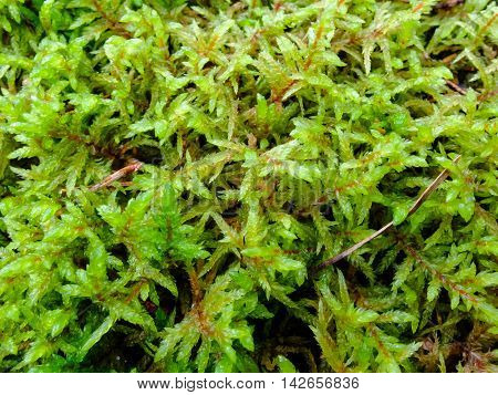Texture of the Moss beautiful macro. The Nature Of The North. The moss plant covering. Soft plant of the North.