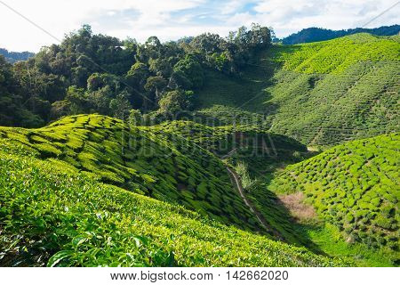 Mountain of tea plantations and tree with blue sky near Cameron Highlands Malaysia.