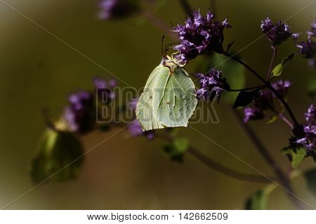 some yellow brimstone butterflies pollinating purple flowers