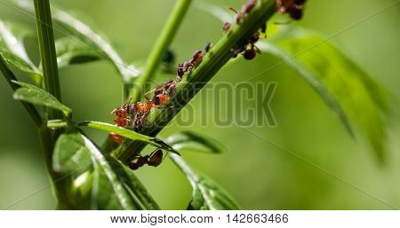 Red Ant With Aphid On A Green Stem