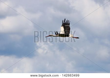The image of a stork who spreads his wings and flies in the sky among the clouds.
