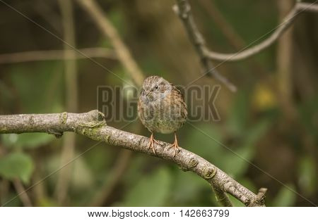 Dunnock, Prunella Modularis, Perched On A Branch