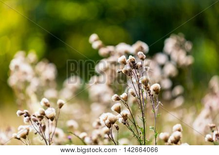 Thistle Withered Flowers In Nice Light