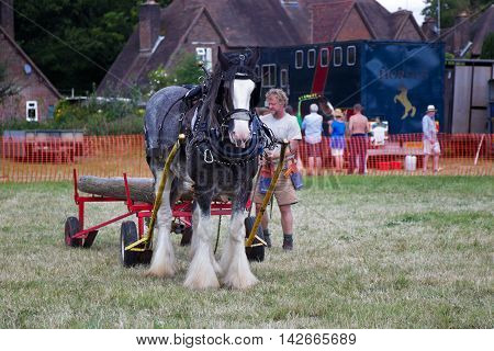POTTEN END, UK - JULY 27: A large horse is manoeuvred through a series of cones & obstacles to demonstrate its agility at the Dacorum Steam fair on July 27, 2014 in Potten End