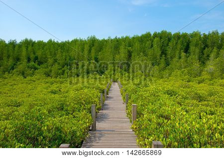 View of wooden walkway bridge surrounded with Ceriops Tagal field in mangrove forest. This attraction called