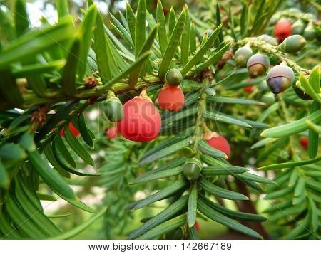 Detail Of A Red Yew Fruit