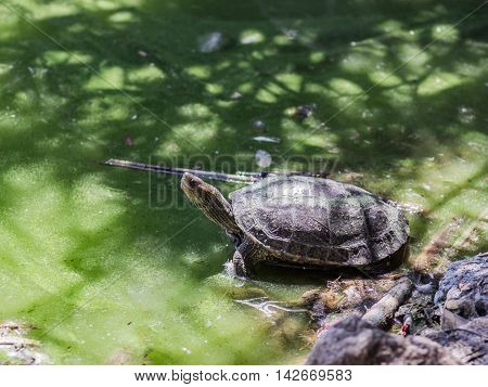 Marsh Turtle Crawled Out Of Water And Basking In Sun