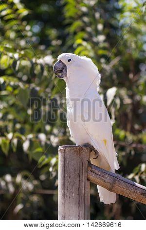 White Parrot Sitting On Bamboo Column