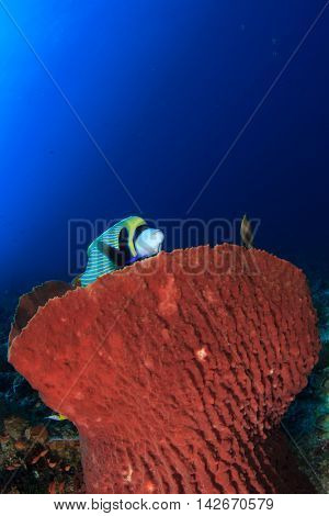Coral reef and fish: Angelfish and sponge