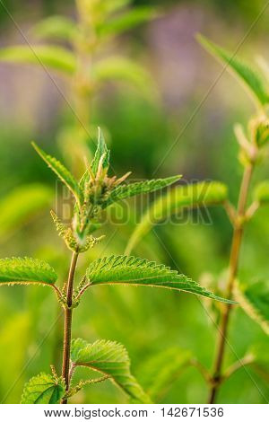 The Twig Of Wild Plant Nettle Or Stinging Nettle Or Urtica Dioica In Summer Spring Field At Sunset Sunrise. Close Up, Detail, At Green Background