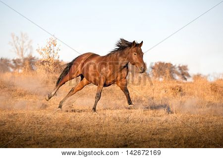 Brown Horse Runs On The Yellow Grass On The Sky Background