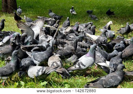 Rock doves feed in the city Park