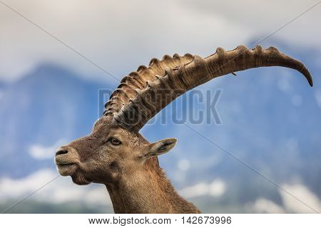 Closeup male Alpine ibex (Capra ibex) in the mountains of the Alps. Mont Blanc France