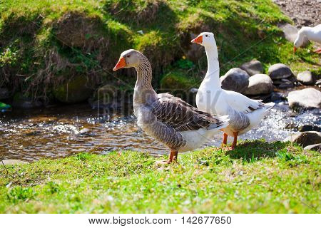 Geese Grazing On Pasture.