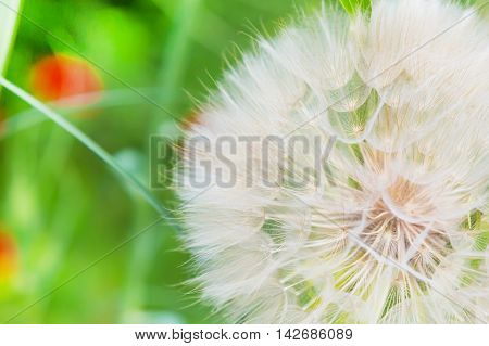 Dandelion abstract closeup on green, tranquil texture background