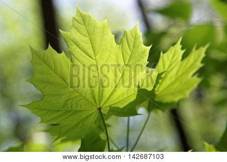 Young leaves of maple in sunny day.