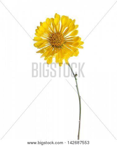Yellow chrysanthemum flower (Tante Heti) isolated on white background