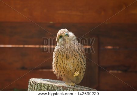 Kestrel bird - closeup portrait. Portrait of kestrel bird sitting on a tree stump with pursed foot and basking in the sun. Natural view with kestrel bird under soft sunlight