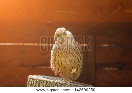 Kestrel bird closeup. Portrait of kestrel bird sitting on a stump with pursed foot and basking in the sun. Natural view with kestrel bird under soft sunlight