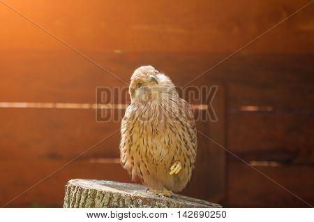 Kestrel bird closeup. Portrait of kestrel bird sitting on a stump with pursed foot and basking in the sun. Natural view with kestrel bird under soft sunlight