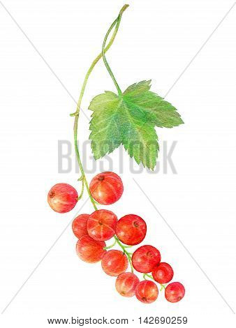 Hand drawn watercolor painting red currants with green leaf isolated on white background. Botanical illustration.