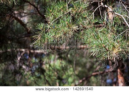 Coniferous forest. Background with bright spruce branches.