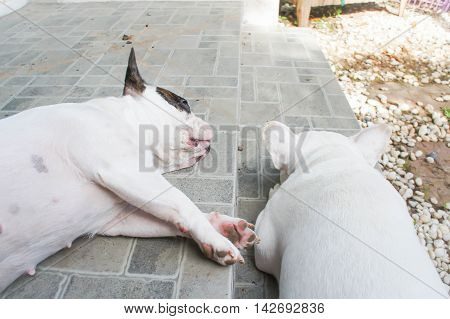 two sleeping dogs on the floorFrench bulldog