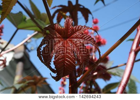 Close up of red castor-oil plant leaves