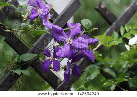 Close up of purple clematis flowers in garden