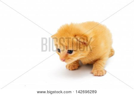 small red kitten baby isolated on white