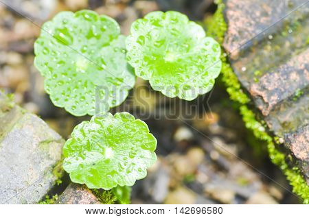 water pennywort plant or hydrocotyle umbellata plant