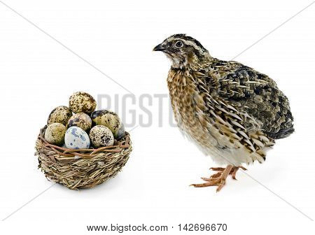 Laying hen of domesticated quail with wooden basket of eggs isolated on white background