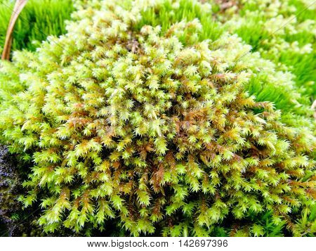 Fresh green moss on the stone. The moss plant covering. Soft plant of the tundra and North.