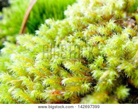 Moss green fresh macro. Plant the moss covering the stones. Soft plant of the North.