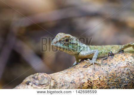 Green Crested Lizard, Black Face Lizard
