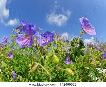 Summer meadow with flowers Geranium pratense in sunny day.