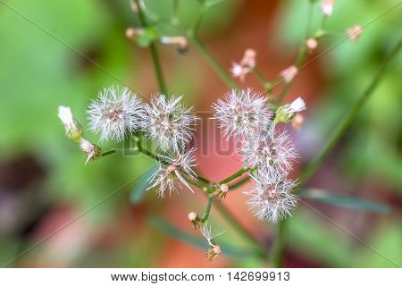 Close up Columbine meadow-rue Thalictrum aquilegifolium macro view
