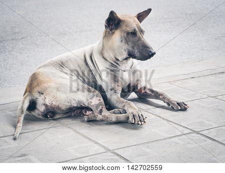 Stray dog in a big city, Bangkok, Thailand