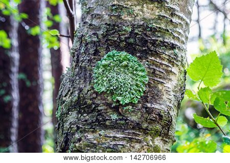 Green Lichen On A Tree Trunk