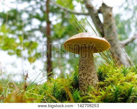 Mushroom Boletus in the grass with morning dew. Edible tasty mushroom. The harvest season of mushrooms for food. The gifts of wild nature to humans.