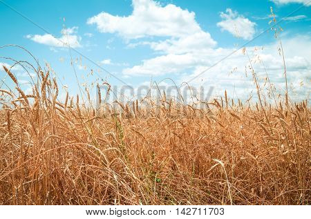 yellow wheat field on the summer day